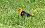Yellow-headed Blackbird_1812.jpg