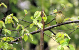 Yellow-bellied Flycatcher_2250.jpg