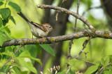 Field Sparrow_2330.jpg