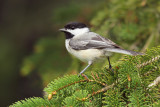 Black-capped Chickadee_2287.jpg