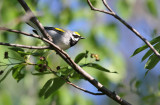 Golden-winged Warbler_1990.jpg