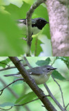 Black-throated Blue Warbler_composite