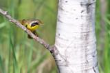 Common Yellowthroat_2555.jpg