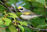 Golden-winged Warbler_2979.jpg