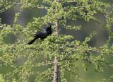 Brewer's Blackbird_3131.jpg