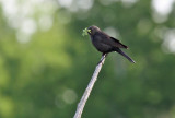 Brewer's Blackbird_3080.jpg