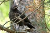 American Crow_2686.jpg