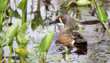 Blue-winged Teal_2721.jpg
