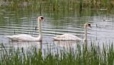 Mute Swan_3177.jpg