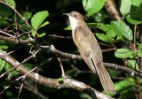 Black-billed Cuckoo_4986.jpg