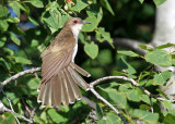 Black-billed Cuckoo_5252.jpg