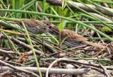 Song Sparrow_5193.jpg