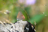 Coral Hairstreak_6072.jpg