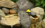 American Goldfinch_6328.jpg