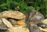 Black-throated Green Warbler_5573.jpg