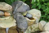 Cape May Warbler_6221.jpg