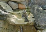 Chipping Sparrow_5834.jpg
