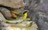 Common Yellowthroat_4427.jpg