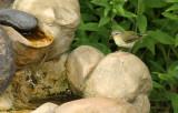 Tennessee Warbler_6318.jpg