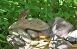 White-throated Sparrow_6292.jpg