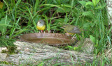 Mourning Warblers_6485.jpg