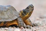Wood Turtle_7092.jpg