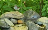 White-throated Sparrow_6920.jpg