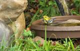 Black-throated Green Warbler_7620.jpg