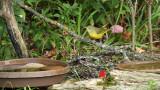 Mourning Warbler_7637.jpg