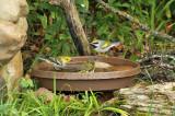 Golden-winged Nashville Blackthr Green Warblers_7699.jpg