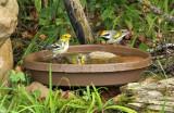 Golden-winged Nashville Blackthr Green Warblers_7697.jpg