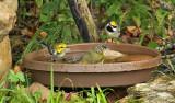 Golden-winged Nashville BlackthrGreen Warblers_7704.jpg