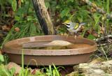 Golden-winged Warbler_7731.jpg