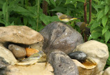 Tennessee Warbler American Redstarts_7809.jpg