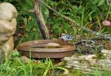 Black-and-white Warbler_7815.jpg