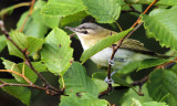 Red-eyed Vireo_7846.jpg