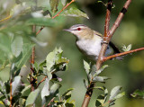 Red-eyed Vireo_8021.jpg