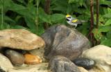 Golden-winged Warbler_8813.jpg