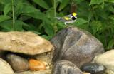 Golden-winged Warbler_8832.jpg
