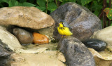 Canada Warbler_9139.jpg
