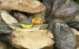 Canada Warbler_9088.jpg