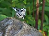 Black-and-white Warbler_9449.jpg