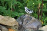 Black-and-white Warbler_9457.jpg