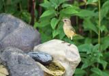Palm Warbler_9486.jpg