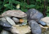 Blackpoll Warblers_9805.jpg