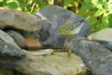 Blackpoll Warbler_9958.jpg