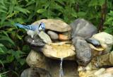 Blue Jay_9875.jpg