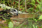 Downy Woodpecker_0001.jpg