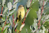 Orange-crowned Warbler_0242.jpg