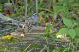 White-crowned & White-throated Sparrows_1000.jpg